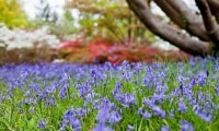 Bluebells in flower for Easter as Exbury celebrates  RHS wins