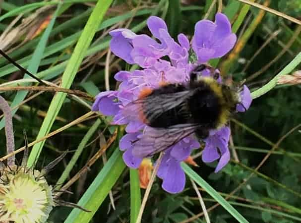 Red Tailed Bee on Scabious