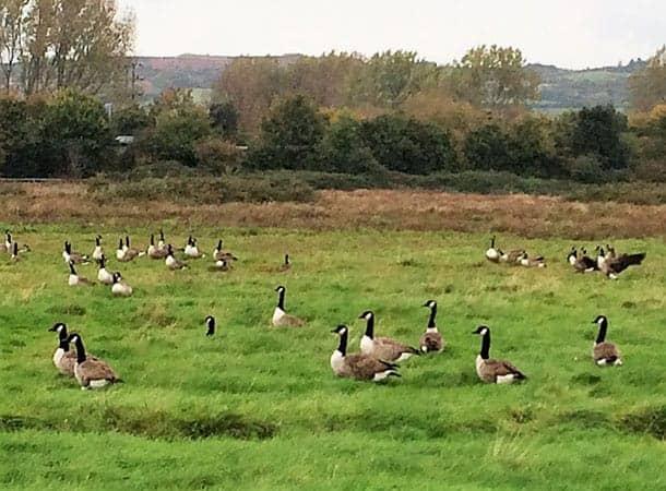 Canada Geese at Farlington Marshes